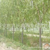 合作社直销绿化工程苗木供应 垂柳苗木陕西批发基地