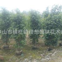 广东中山供应垂叶榕树施工种植养护工程