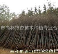 热销中:银杏树(直生)Ф6cm-13cm工程用苗,包成活、量大价低