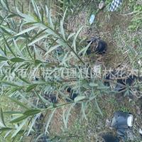 中山园林设计绿化工程苗木