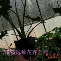绿色盆栽&龟背竹、春雨&低价出售