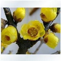 芳香花卉种子 花灌木种子    腊梅种子批发   新腊梅种子