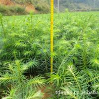 大批量供应各种规格的杉树苗(地苗)