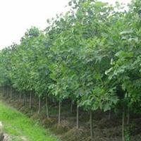 苏北沭阳绿化苗木,乔木类【榉树】