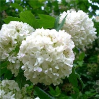 绿化花卉苗木灌木类大花木绣球