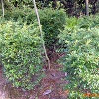 四建华银苗木基地常年供应1米高60公分蓬径火棘球绿化苗