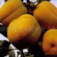 大量提供柿树成品苗 斤柿 、八月黄、甜柿