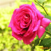 大量供应营养钵苗粉色、浅粉色、红色、白色、紫色月季花,
