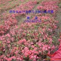 杜鹃花 映山红花、杜鹃、红杜鹃秒、满山红、清明花