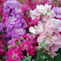 大量供应云南优质鲜花花材批发销售------紫罗兰