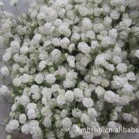 花店配花批发、供应云南优质鲜切花花材-----满天星