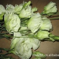 大量云南优质鲜切花花材供应----洋桔梗(绿色)