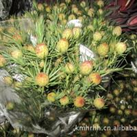 长期供应优质插花,婚庆,花束等花艺花材----澳洲郁金香