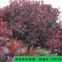 农户价供应冠100公分的红叶石楠,冠形饱满,成活率高。