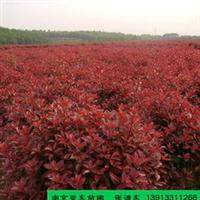 供应冠200公分的红叶石楠,冠形饱满,根系发达,成活率高。
