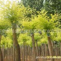 供应黄金愧 苗木 各种造型苗木