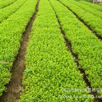 【小额批发】优质一年扦插杜鹃绿化小苗