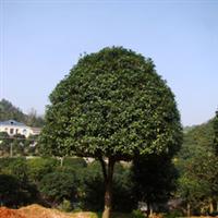 批量供应丹桂  绿化工程苗木