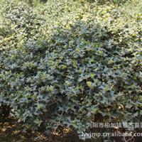 【实物拍摄参考】批量供应枸骨树  园林绿化灌木