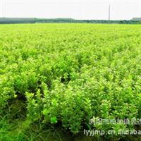 低价促销绿化灌木黄杨小苗  常绿灌木