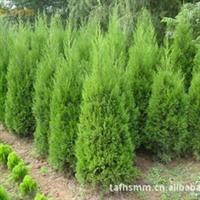 大量销售四季常绿  松柏树苗  柏树苗 绿化树苗