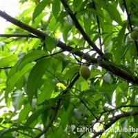 专业供应成活率高 品质上乘桃树