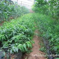 现货低价供应优质桃树苗