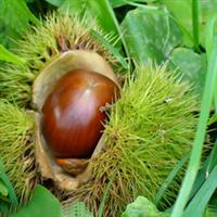 凤凰山苗木供应优质泰山板栗
