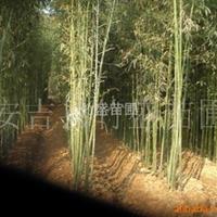 供应绿化苗木 观赏竹 红竹 浙江安吉
