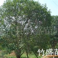 大量供应绿化苗木  桂花 多种规格 浙江安吉(图)
