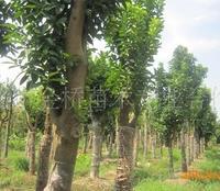 供应奉化产金桥牌15-30公分农户直销移植香泡。