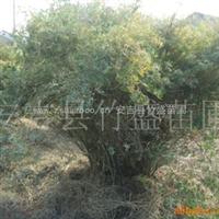 大量供应凤尾竹等不雅观赏竹 产地安吉 质量保证