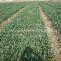 供应兰花三七等地被植物 产地安吉 量大从优