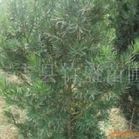 大量供应绿化苗木 罗汉松  产地浙江安吉