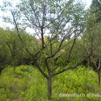 供应绿化苗木 红梅 梅花 产地安吉