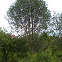 供应绿化苗木 桂花 大中小型 产地安吉