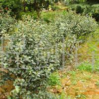 大量供应景观绿化苗木茶梅