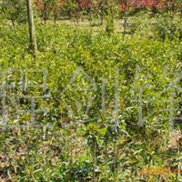 湖南长沙大量供应大叶栀子品种优良