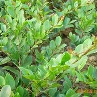供应湖南优质蚊母工程苗15--50公分高