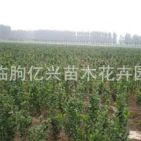 批发供应优质北海道黄杨小苗 保质保量 欢迎选购