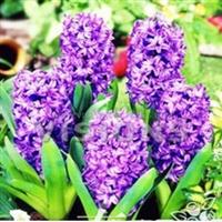 荷兰进口风信子种球 室内盆栽水培植物 品多种选择