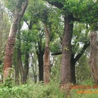 供应乌桕树