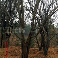 供应木瓜树(图) 本公司常年出售木瓜树