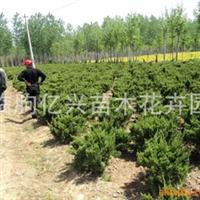 临朐亿兴苗木花卉园供应龙柏  工程绿化 苗木 四季长青 欢迎采购