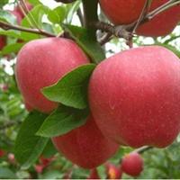 供应 优质苹果树苗 果树种苗 多品种 多规格