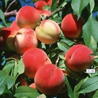 供应 优质桃树苗 果树种苗 多品种 多规格