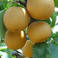 供应 优质l梨树苗 果树种苗 多品种 多规格