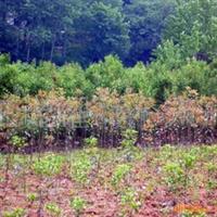 供应红叶石楠红花继木 乌桕,桂花,香樟,法国梧桐