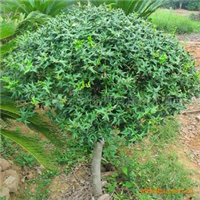 【自产自销】大量现货低价供应乔木工程绿化苗木精品 有刺构骨