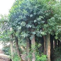 【苗木工程】长期现货供应各种规格  杜英